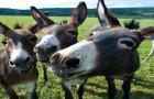 Mules1